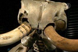 Скелет мамонта продали за 300 тысяч долларов