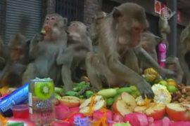 Тайским мартышкам снова устроили пир