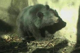 Дикий медведь забрел в деревню в Индии