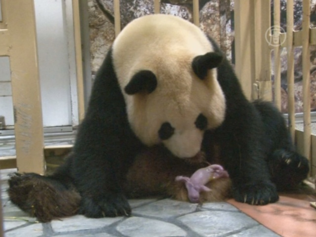 Пара панд родилась в зоопарке Японии