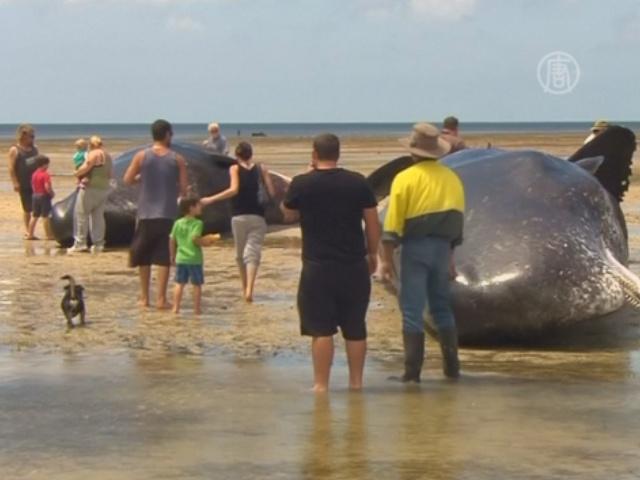 7 кашалотов выбросилось на берег в Австралии
