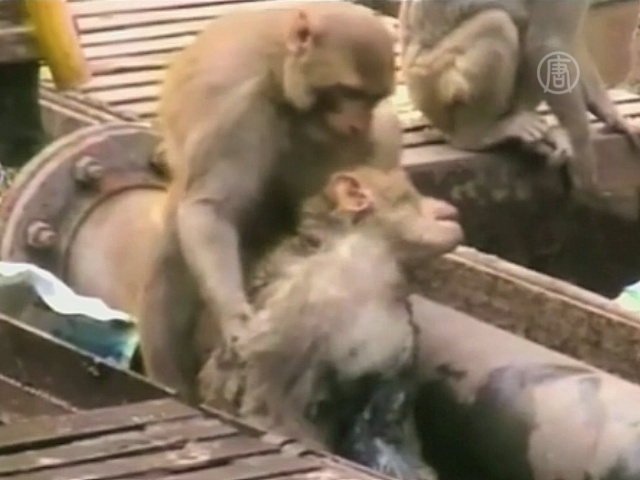 Как в Индии одна обезьяна спасала другую