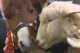 Японцы прощаются с лошадью и приветствуют овцу