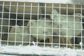 Сотни кур умерли в Индии по непонятным причинам