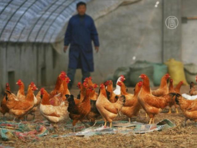 В Гонконге уничтожат 15 000 кур из-за вируса H7N9