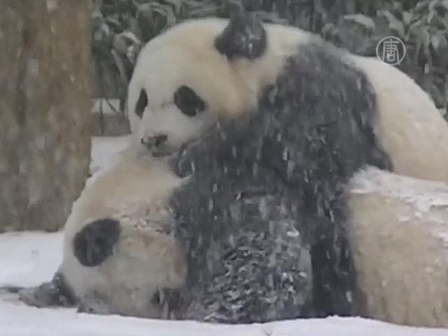 Панда в Вашингтоне наслаждается первым снегом