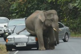 Видео: дикий слон в Таиланде уселся на капот авто