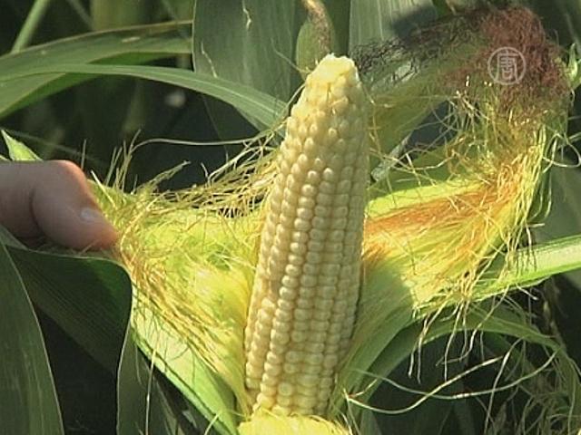 ЕС дал себе право выбора в вопросе ГМО