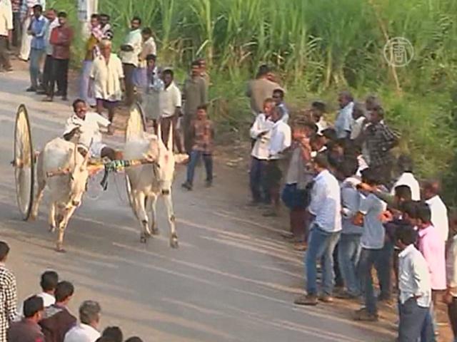 В Индии провели скачки на быках