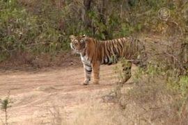 Индия добилась роста популяции тигров