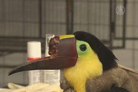 В Коста-Рике лечат тукана, потерявшего часть клюва