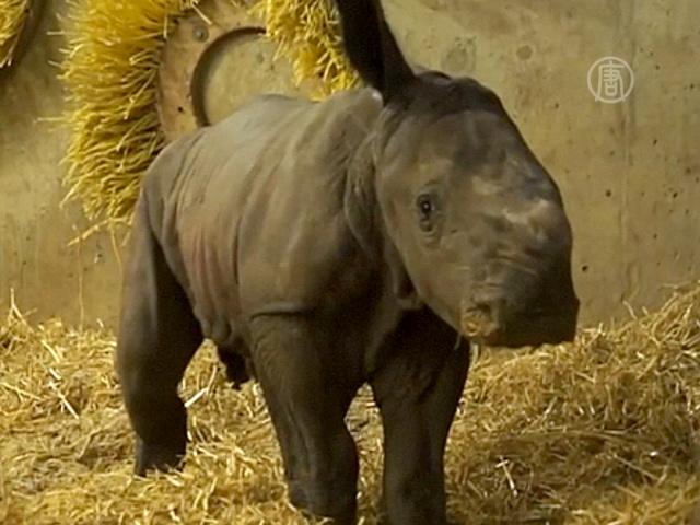 Детёныш носорога родился в Копенгагене впервые за 35 лет