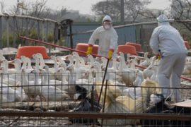 Птичий грипп в Тайване: забили более миллиона птиц