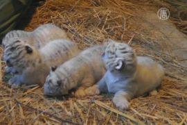 Белые тигрята родились в зоопарке Японии