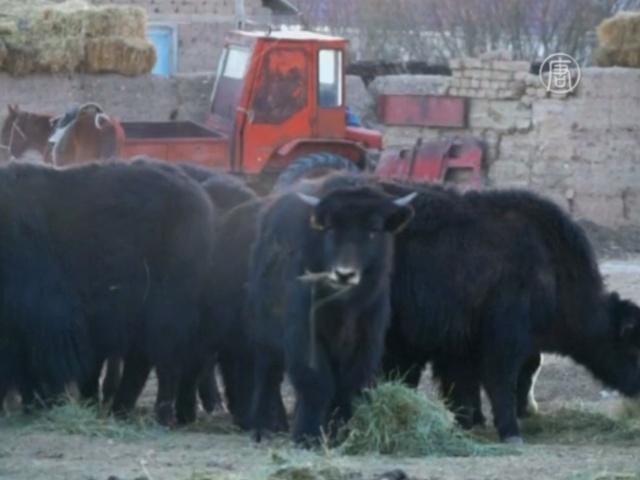 В Кыргызстане возрождают яководство