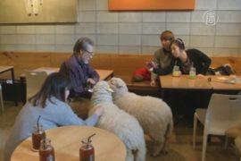 Овечье кафе набирает популярность в Сеуле