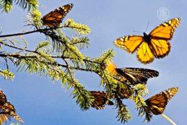 В США будут восстанавливать численность бабочек