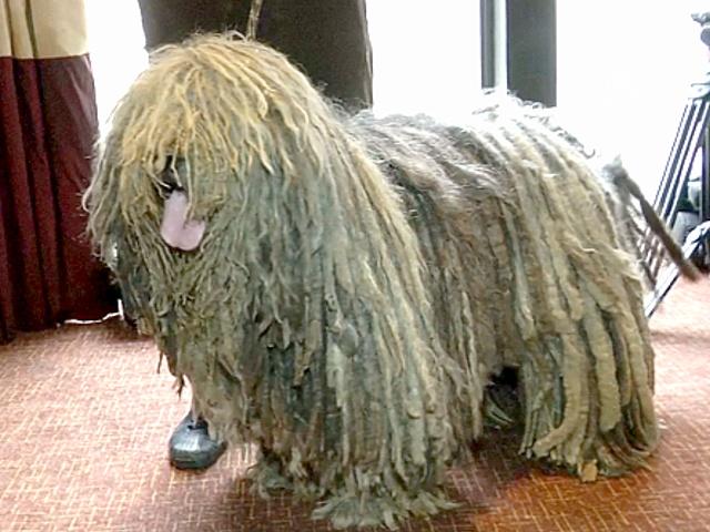 Собаки готовятся к Вестминстерскому дог-шоу