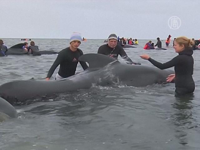 В Новой Зеландии спасли 66 черных дельфинов