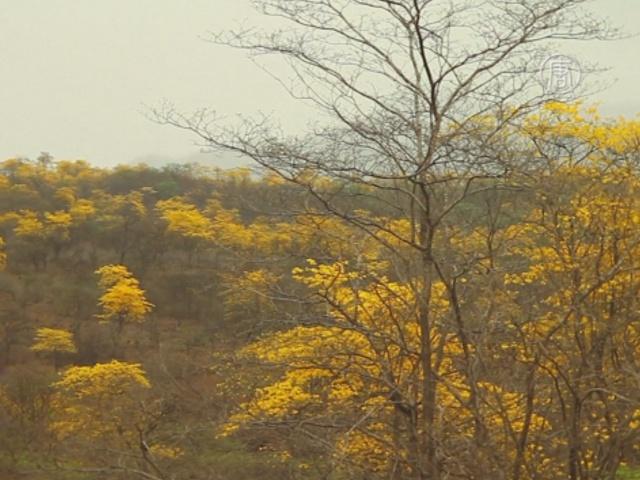 В Эквадоре сухой лес покрылся жёлтыми цветами