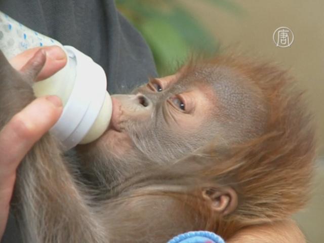 Берлин прощается с детёнышем орангутана