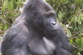 На опасный восток Конго — за редкими гориллами