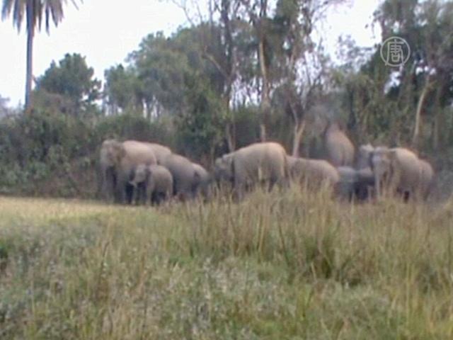 Дикие слоны убили 10 человек на востоке Индии