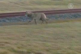 В Голландии впервые за 120 лет увидели волка