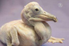 В Сан-Диего растят двух кудрявых пеликанов