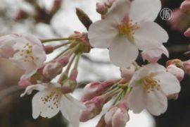В Японии официально зацвела сакура