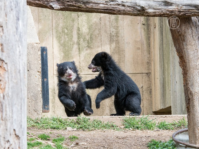 Двое андских медвежат дебютируют в зоопарке США