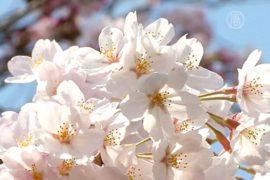 Сакура в Токио — в полном цвету