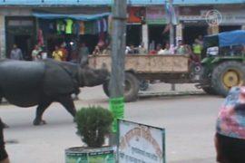 Дикий носорог посеял хаос в непальском городе