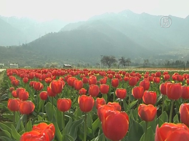 Миллион тюльпанов украсил крупнейший в Азии сад