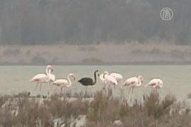 Уникального чёрного фламинго заметили на Кипре