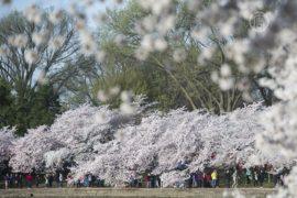 В Вашингтоне цветут 3000 деревьев сакуры