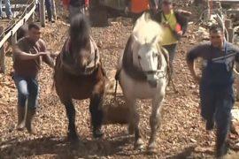 В Боснии лошади соревновались в перевозке леса