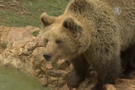 Хорватия: в приюте среди гор спасают медведей