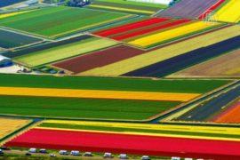 В Голландии цветут тюльпановые поля