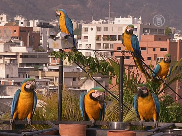 Попугаи ара радуют жителей Каракаса