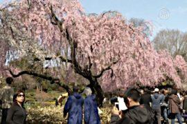 В ботаническом саду Нью-Йорка цветет сакура