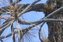12 млн деревьев погибло в Калифорнии из-за засухи
