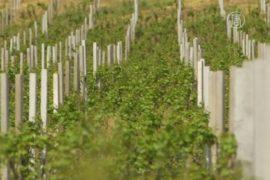 Сербия возрождает традиции виноделия