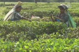 Изменение климата угрожает индийскому чаю