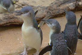 Мини-пингвинчиков завезли в зоопарк Бронкса