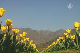 Сад тюльпанов дарит надежду бизнесменам Кашмира