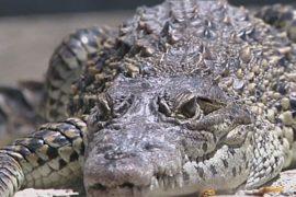 Редких крокодилов выпустят в дикую природу на Кубе