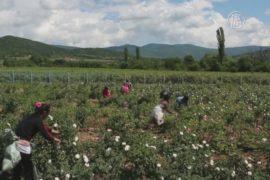В болгарской Долине роз собирают урожай
