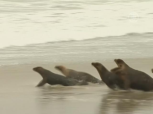 Морских львов выходили после отравления хлором