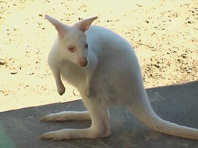 В зоопарке Ярославля живёт белый кенгуру